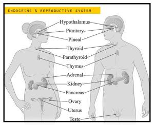 endocrine reproductive system