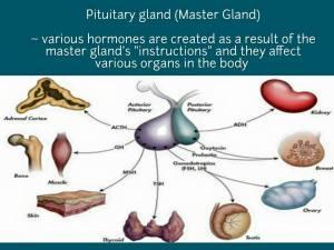 pituitary gland 2