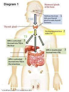 thyroi