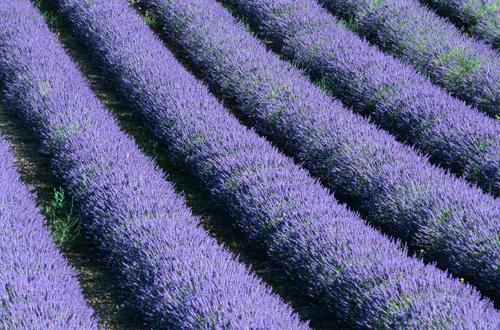 clonal-lavender