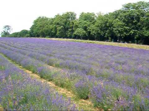 population-lavender